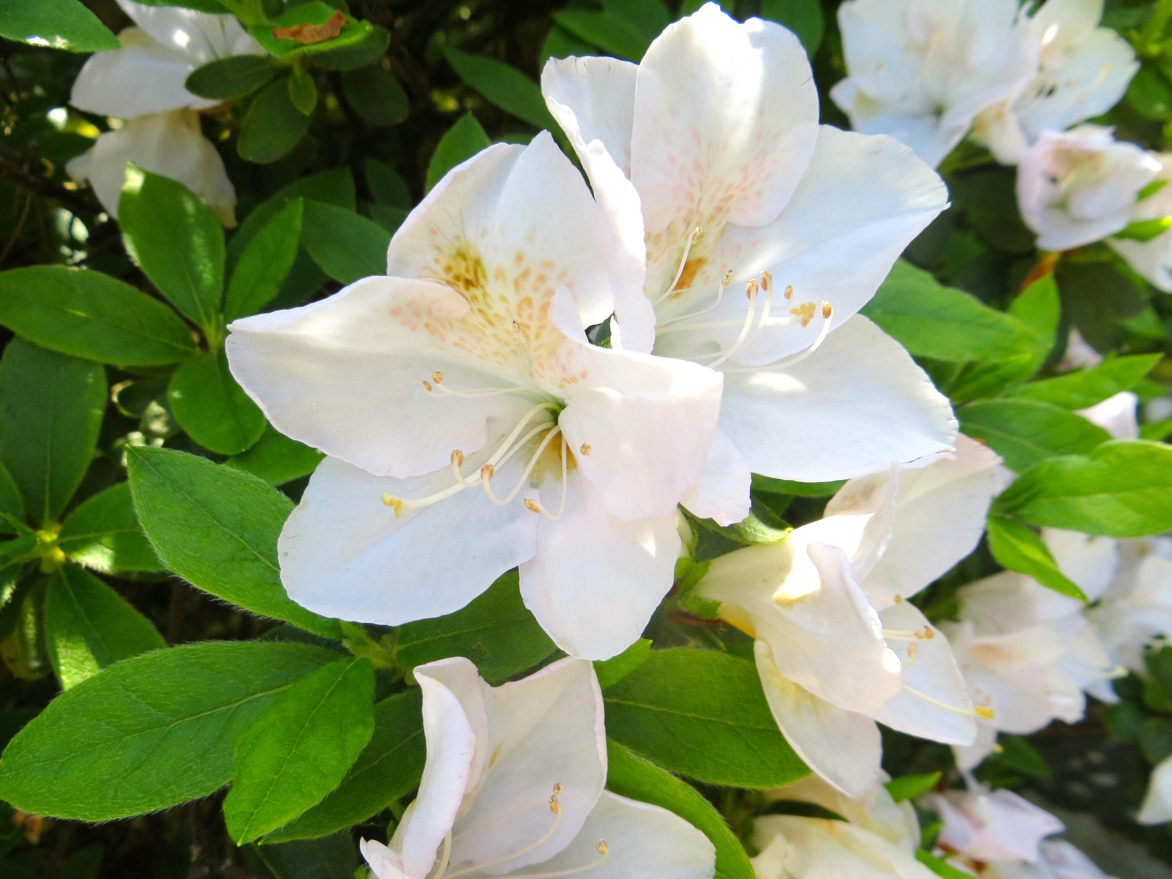 Rhododendron azalea white by e roji gate in area w sjg bloom sjg 51314 white azalea s of roji e gate mightylinksfo Images